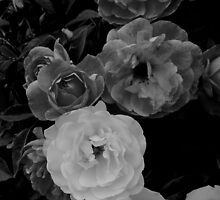 Roses in  mono by Jane  mcainsh