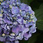 NikoBlue Hydrangea by jenndes