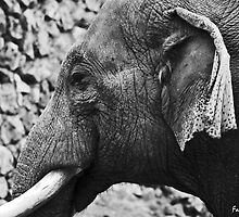 Elephant by photo77