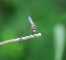 Dragon Fly by photo77