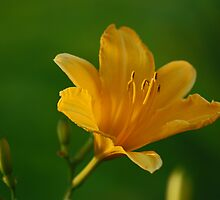 Yellow flower by photo77