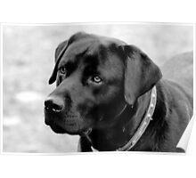 Shane, Black Labrador Poster