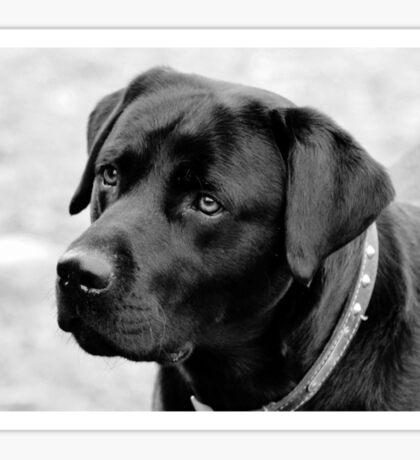 Shane, Black Labrador Sticker