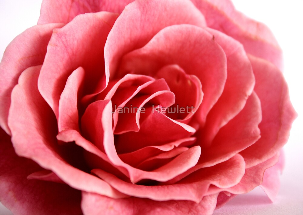 Pink by Janine  Hewlett