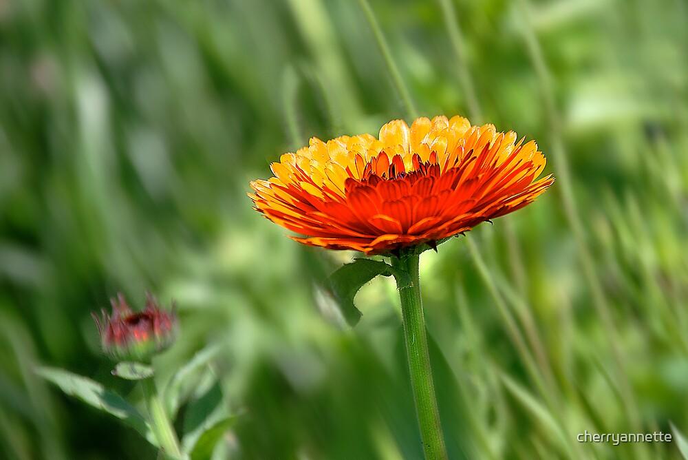 French marigold by cherryannette