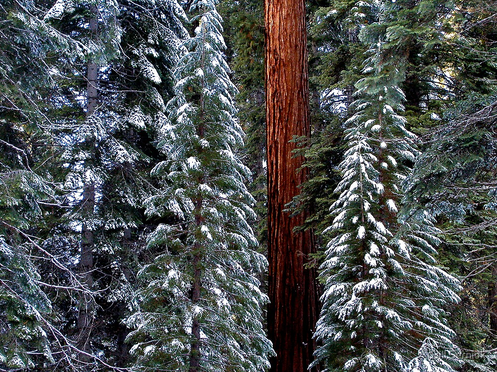 Giant Sequoia Forest-Winter by Bill Serniuk