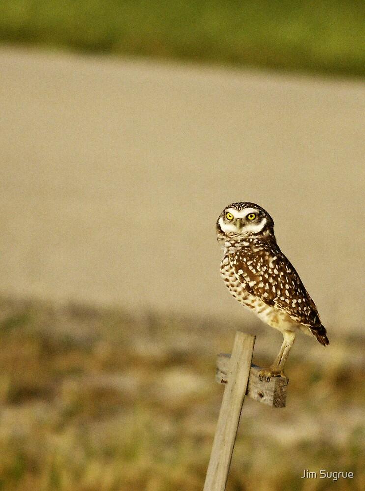 Burrowing Owl by Jim Sugrue