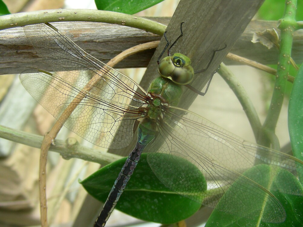 Dragonfly by niels033