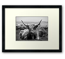 Highland Coo on the Island of Tiree Framed Print