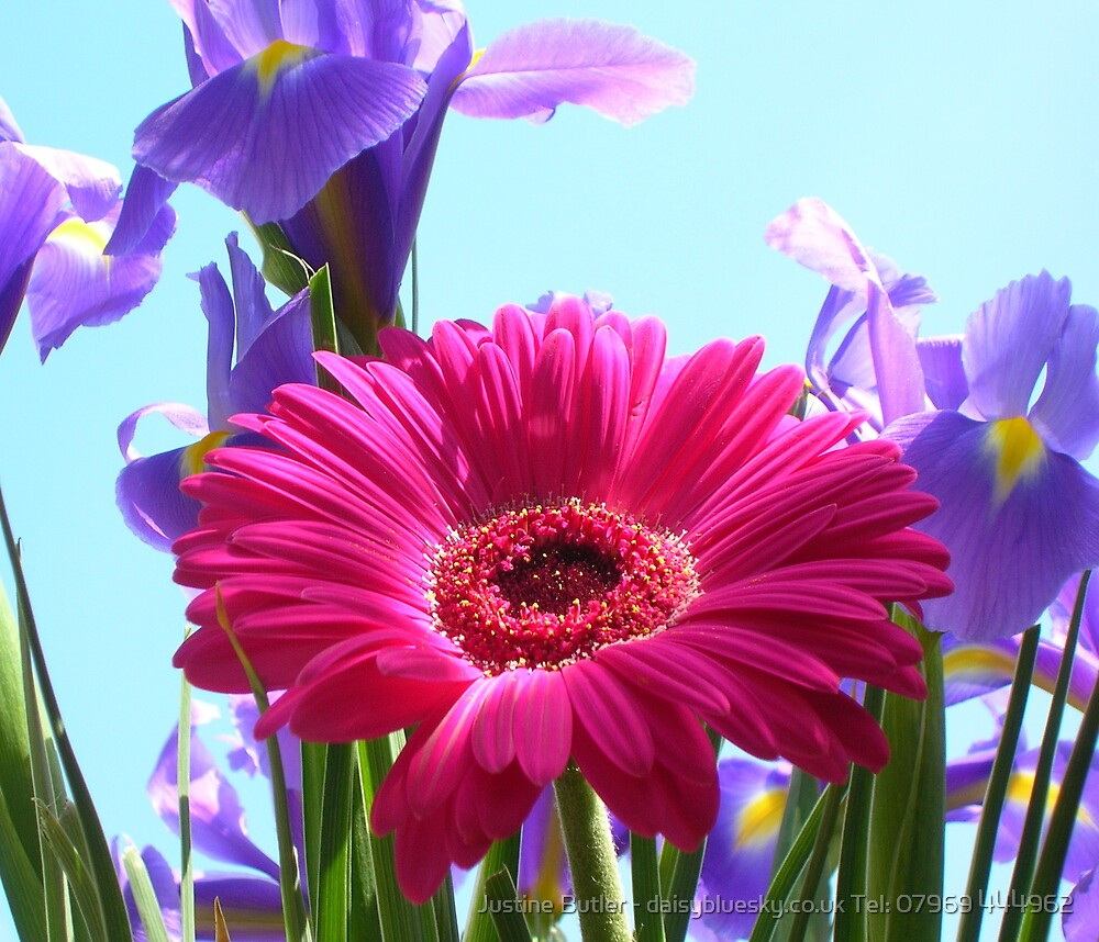Iris Gerbera On Blue Sky by Justine Butler - daisybluesky.co.uk Tel: 07969 444962