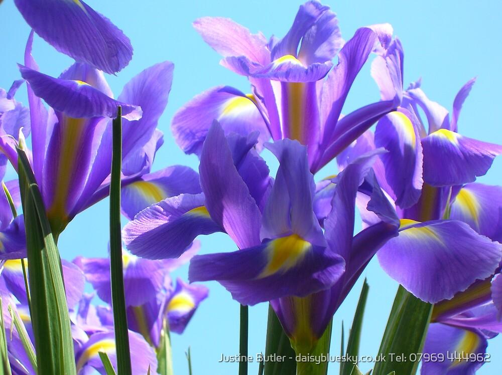 Iris On Blue Sky by Justine Butler - daisybluesky.co.uk Tel: 07969 444962