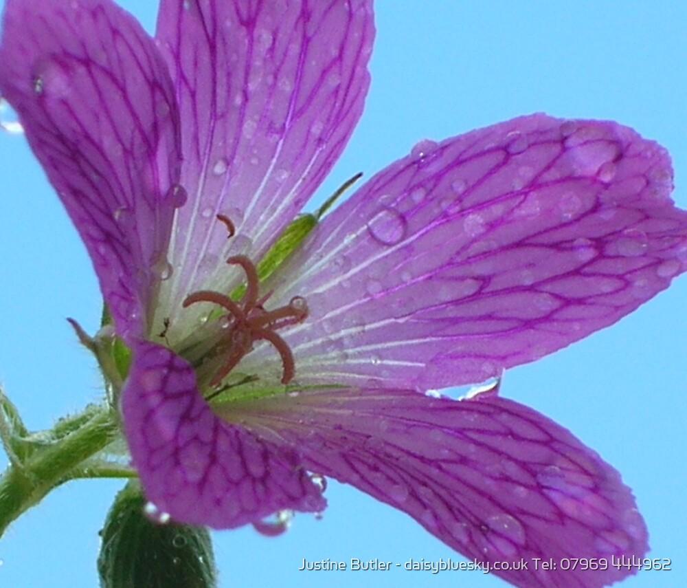 Mallow On Blue Sky by Justine Butler - daisybluesky.co.uk Tel: 07969 444962
