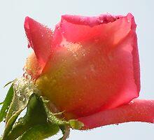 Pink Rose On Blue Sky by Justine Butler - daisybluesky.co.uk Tel: 07969 444962