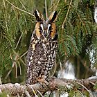 Long Eared Owl by Debbie Oppermann