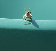 grasshopper  by Laura Gottfried