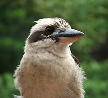 Kooka by Karly Morris