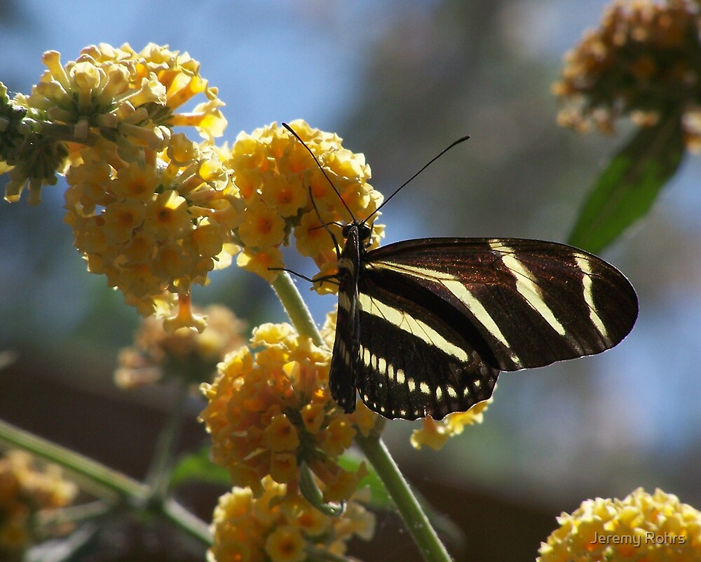 Butterfly by Jeremy Rohrs