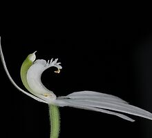 Caladenia catenata by Colin12