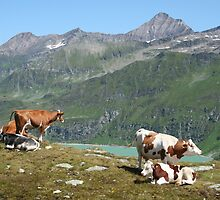 Dairy Cows High Up On A Mountain by Mythos57