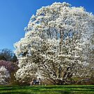 Magnolia in Bloom by cclaude