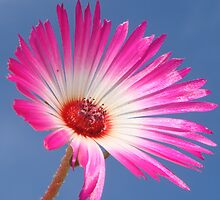 Pink Daisy On Blue Sky by Justine Butler - daisybluesky.co.uk Tel: 07969 444962