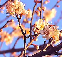 Exquisite Cherry Blossoms by yendesigns
