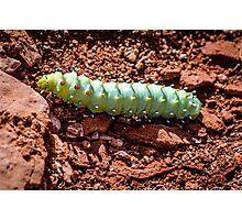 Colorful Cecropia Caterpillar Photographic Print
