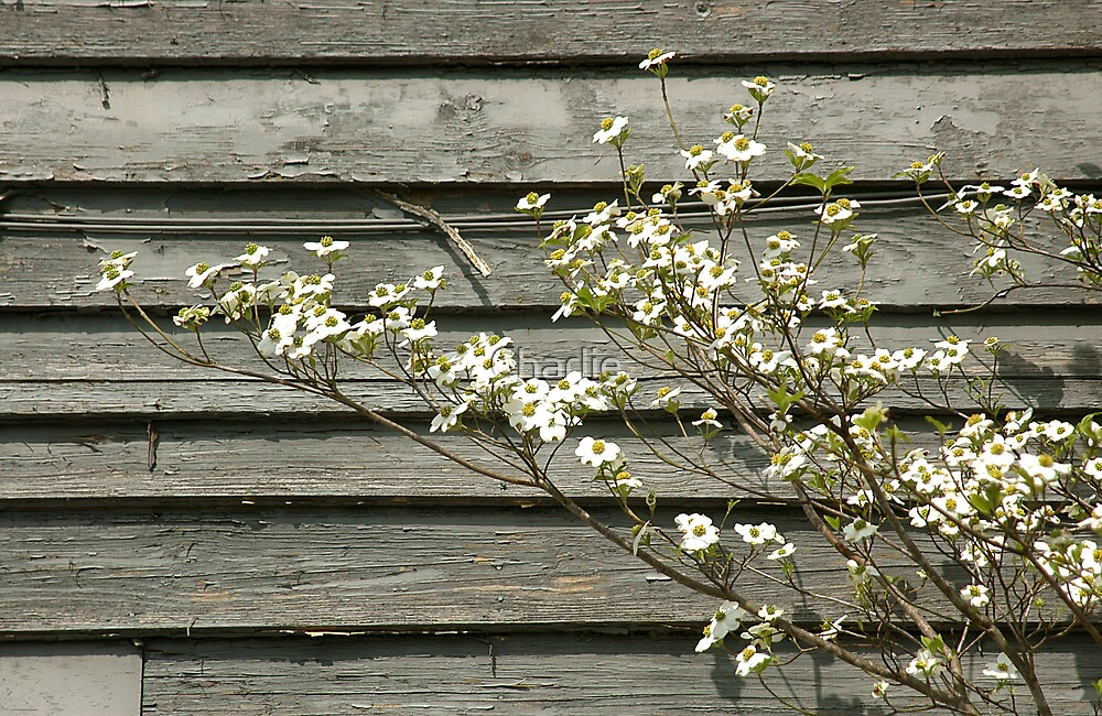 Dogwood Blossoms by Charlie