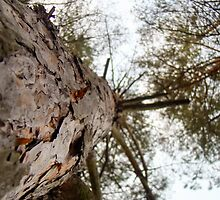 Bottom View of Pine Tree by AnnArtshock