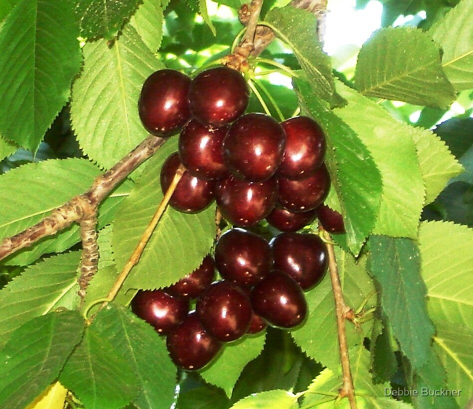 Shiney OR Cherries by Debbie Buckner
