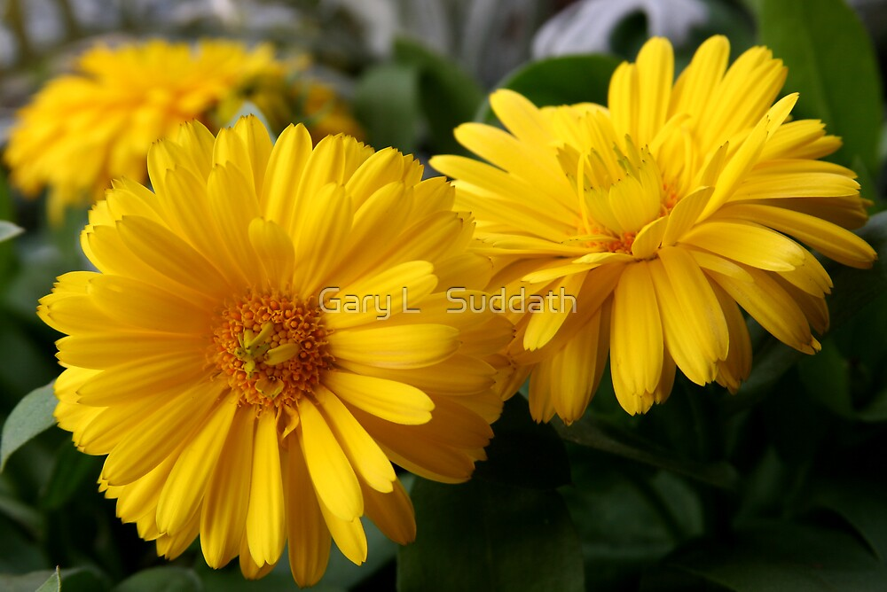 Yellow Chrysanthemum  by Gary L   Suddath