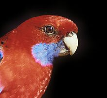crimson rosella by proimageprints