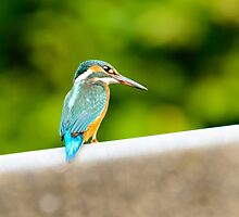 eisvogel kingfisher Alcedo atthis by drdoc2000