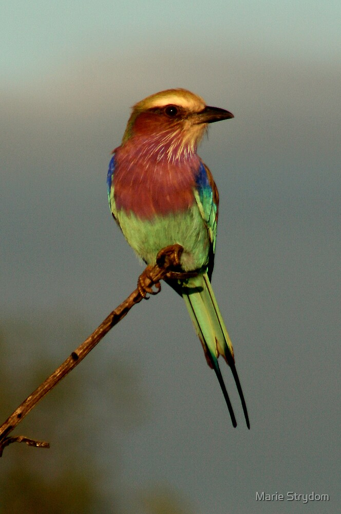 Lilac Breasted Roller by Marie Strydom