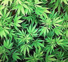 Marijuana by Viterbo