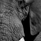 Tusker by Herman Greffrath