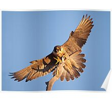 Peregrine Perch Poster