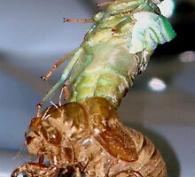 Cicada Shedding Its Skin by ekehoe