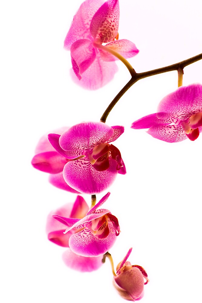 Orchid by Chris Clark