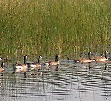 Ducks in a row by groucho333