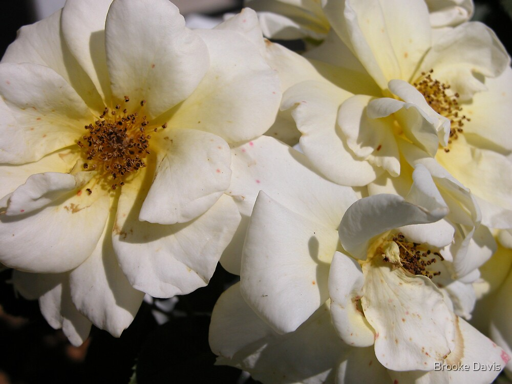 White Climbing Roses by Brooke Davis
