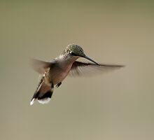 The hummingbird hover by Gregg Williams