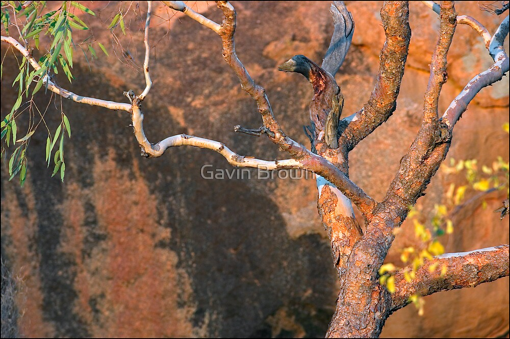 Outback Gum on sandstone by Gavin Brown