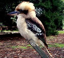 Baby Kookaburra  by lettie1957