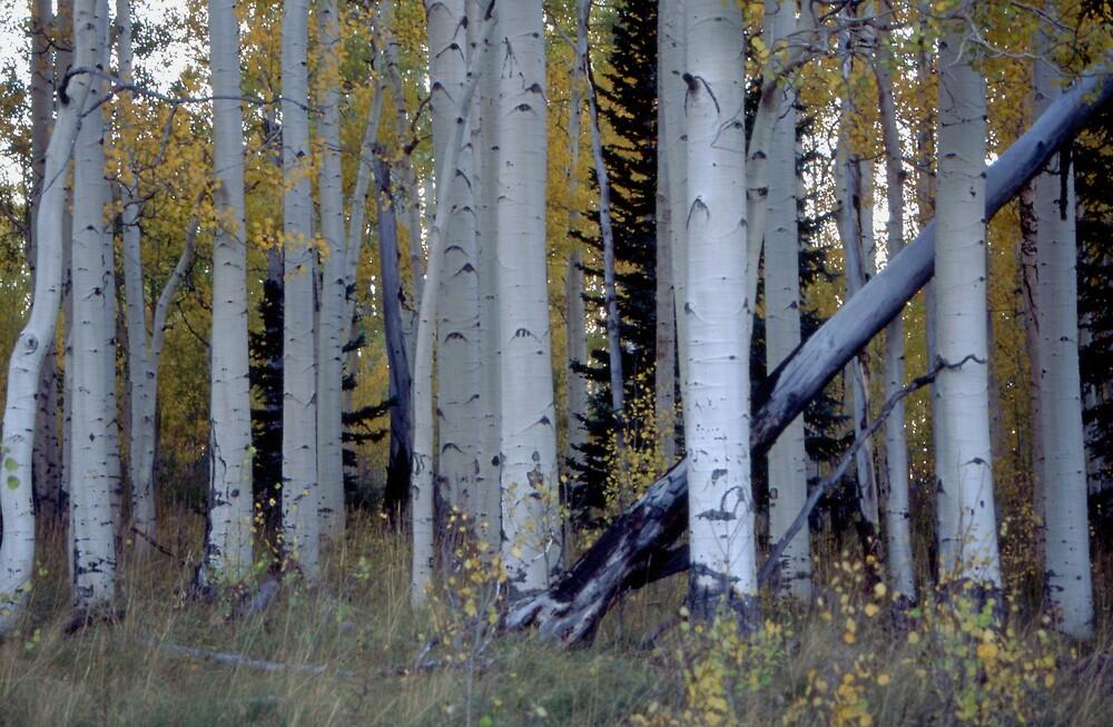 Aspen Grove by cewoodruff