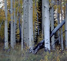 Aspen Grove by cewoodruff