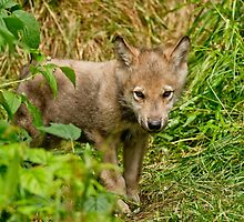 Timber Wolf Pup by Michael Cummings