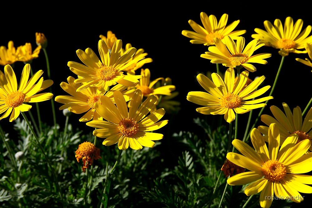 Daisys by robalexander