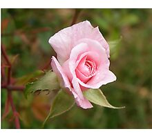 Cecil Brunner Bud Photographic Print