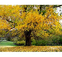 photoj, tasmania autunm tree Photographic Print